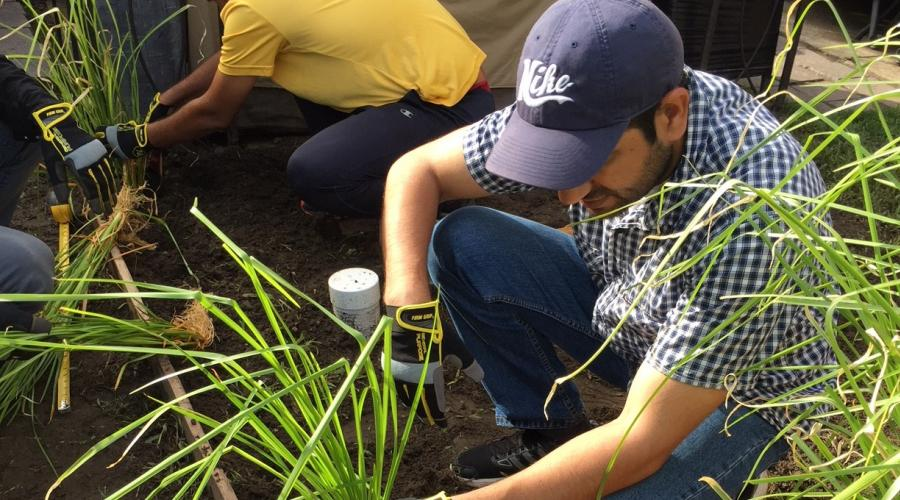 Stevens students placing clumps of vetiver grass in a New Jersey yard